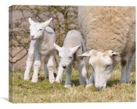 Spring Lambs, Canvas Print