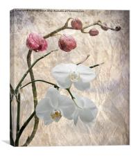 Phalaenopsis - Common or Garden Orchid, Canvas Print