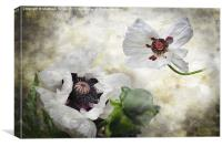 White poppies, Canvas Print