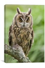 Long Eared Owl holding mouse, Canvas Print