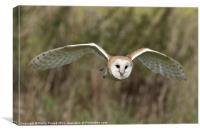 Barn Owl Hunting, Canvas Print