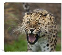 Amur Leopard, Canvas Print