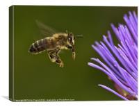 Honey Bee in Flight, Canvas Print