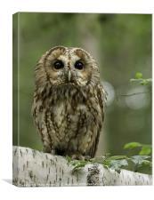 Tawny Owl on Branch, Canvas Print
