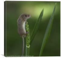 Harvest Mouse On Wheat Stalk, Canvas Print