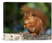 Red Squirrel Eating A Nut, Canvas Print