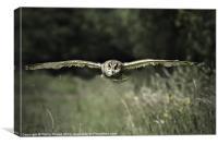 Short Eared Owl in Flight, Canvas Print