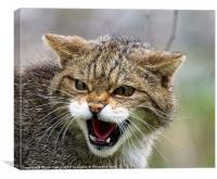 Scottish Wildcat, Canvas Print