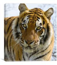 Tiger Portrait, Canvas Print