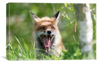 Red Fox With Attitude, Canvas Print