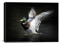Mallard Duck Landing, Canvas Print