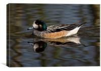 Wigeon on the water, Canvas Print
