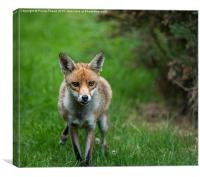 Red Fox in the grass, Canvas Print