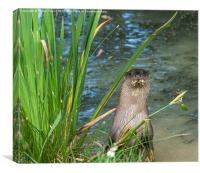 Otter Standing on the banks of a pond, Canvas Print