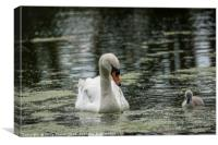 Swan with Cygnet, Canvas Print