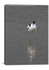 Avocet and reflection, Canvas Print