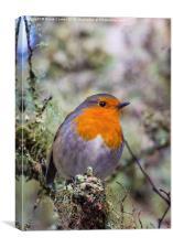 Robin in breeding plummage, Canvas Print