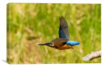 Kingfisher in flight, Canvas Print