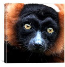 Red Ruffed Lemur Portrait, Canvas Print