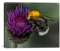 Bumblebee on Cynara Cardunculus, Canvas Print