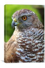 European Sparrowhawk, Canvas Print