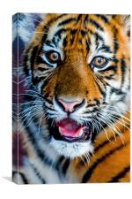 Baby Tiger, Canvas Print