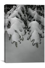 Evergreen Boughs in Winter, Canvas Print