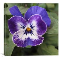 Pansy #2, Canvas Print