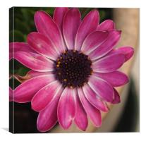 Pink Centred, Canvas Print