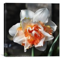 Orange and White Dafodil, Canvas Print