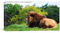 Lion laying in the sun, Canvas Print