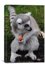 Ring Tailed Lemur (Lemur catta), Canvas Print