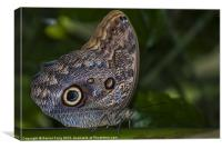 Tropical Owl Butterfly, Canvas Print