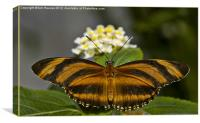 Banded Orange Butterfly, Canvas Print