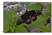 Scarlet swallowtail, Canvas Print