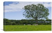 Sheep shading themselves in a field of buttercups, Canvas Print