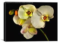 White Orchid On Black, Canvas Print
