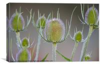 TEASEL HEADS, Canvas Print