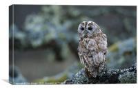 TAWNY OWL ON LICHEN BRANCH, Canvas Print