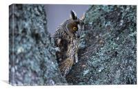 LONG-EARED OWL, Canvas Print