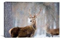 Red Deer, Canvas Print