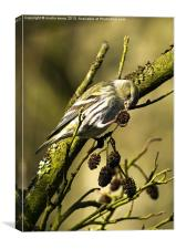 Siskin Seeds, Canvas Print
