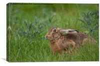 Brown Hare , Canvas Print