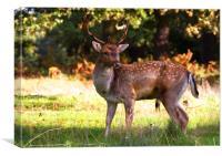 Male Fallow Deer, Canvas Print