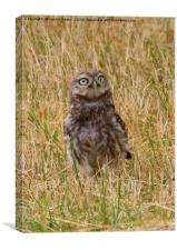 Little Owl With Ladybird on Chest, Canvas Print