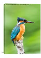 Female Kingfisher, Canvas Print