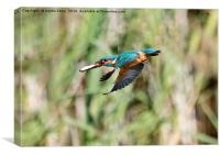 Kingfisher Flying With Fish, Canvas Print