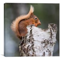 Red Squirrel in Tree, Canvas Print
