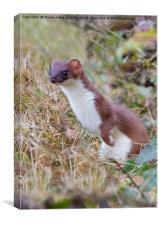 Stoat , Canvas Print