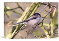Longtail Tit, Canvas Print